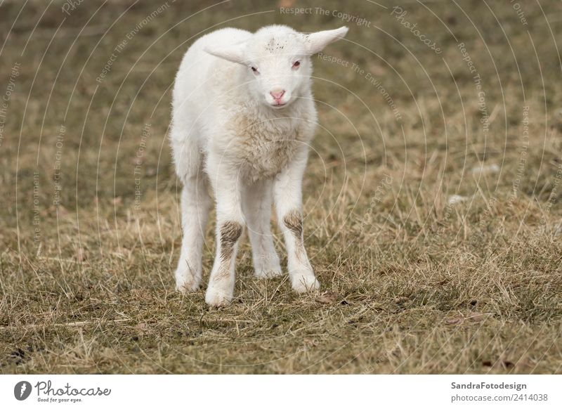 A little sheep is standing in the meadow Sommer Baby Natur Garten Park Wiese Tier Nutztier 1 Tierjunges springen Tierliebe mammal lamb agriculture young wool