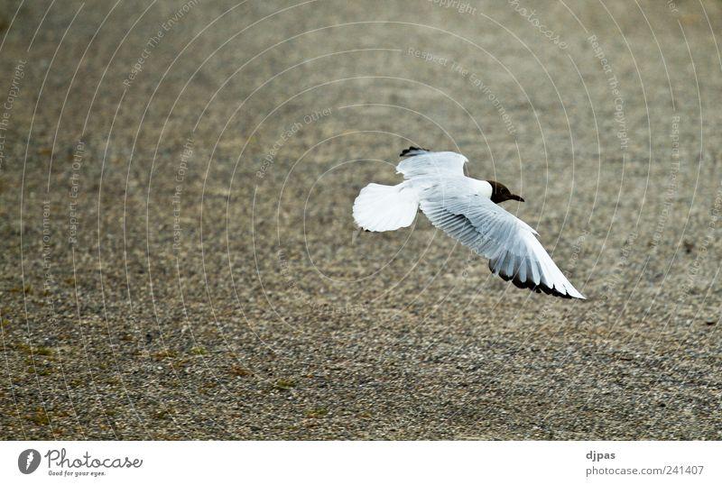 Die Möwe Jonathan ruhig Tier Vogel elegant fliegen Erde Flügel