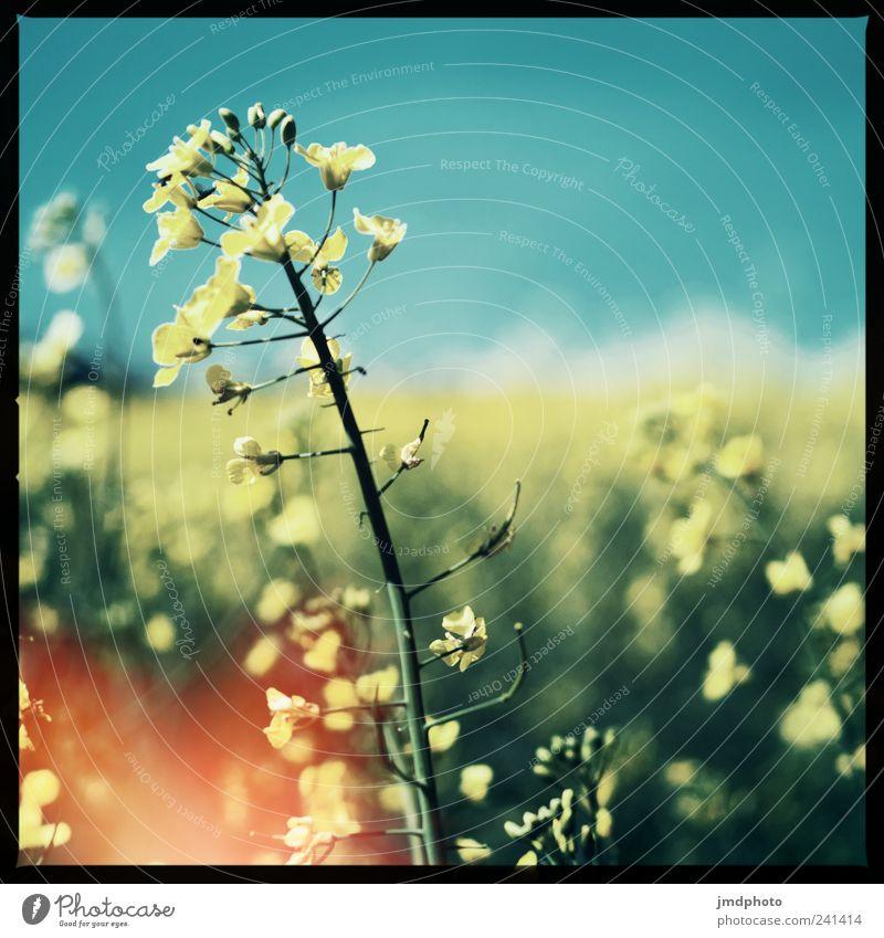 Raps Natur Ferien & Urlaub & Reisen Pflanze Sommer Freude gelb Landschaft Glück Blüte Feld Freizeit & Hobby Ausflug Wachstum Sträucher Schönes Wetter