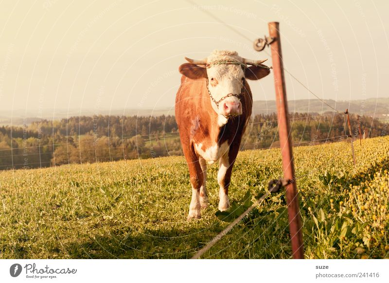 Altes Leder Himmel Natur alt Tier Wald Umwelt Gesunde Ernährung Wiese Horizont Feld authentisch Landwirtschaft Weide Zaun stark Tiergesicht