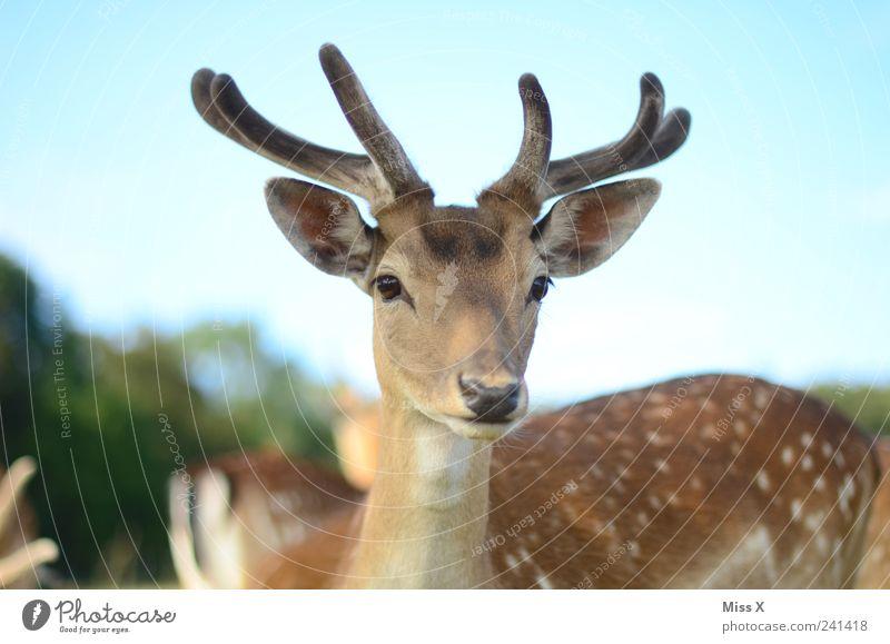 schau mir in die Augen Himmel Natur Tier Wildtier Neugier Horn Hirsche Paarhufer