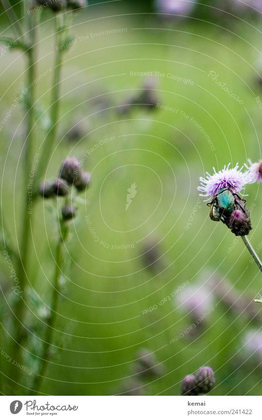 Freunde Umwelt Natur Pflanze Tier Sommer Schönes Wetter Blume Gras Blatt Blüte Grünpflanze Wildpflanze Wiese Wildtier Insekt Käfer Käferbein 2 Fressen sitzen