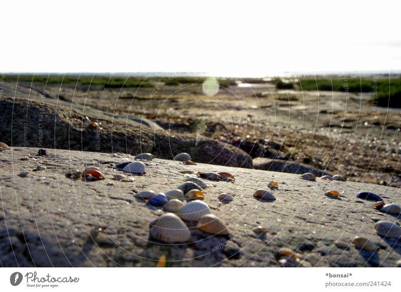 muscheln kurz vor rømø Ferien & Urlaub & Reisen Ferne Strand Natur Erde Sand Sommer Schönes Wetter Gras Sträucher Küste Muschel Stein Felsen frei hell nah