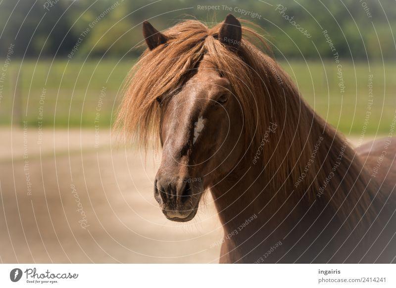 Hengstportrait Natur Landschaft Feld Tier Nutztier Pferd Island Ponys 1 Blick Freundlichkeit natürlich braun grün Lebensfreude Tierliebe Zufriedenheit Farbfoto