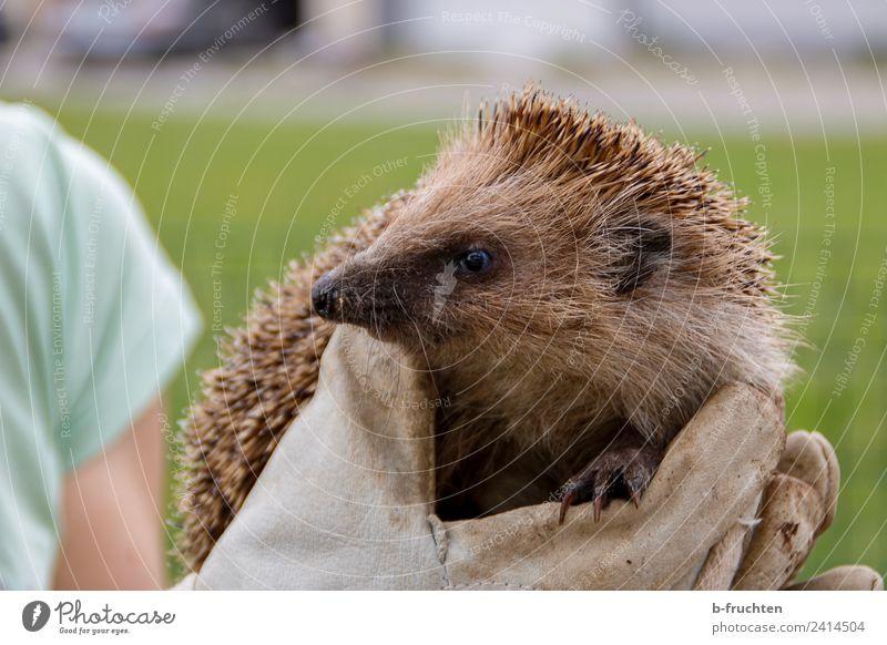 Igel Hand Wildtier 1 Tier Tierjunges beobachten berühren festhalten Tierliebe Handschuhe Garten Schutz Stachel Spitze stechen Gesicht Auge Pfote Farbfoto