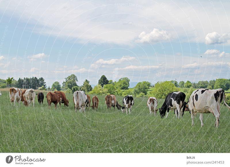 Kuhherde... Natur Ferien & Urlaub & Reisen Baum Gesunde Ernährung Landschaft Tier Berge u. Gebirge Wiese Feld Tiergruppe Landwirtschaft Weide Bioprodukte