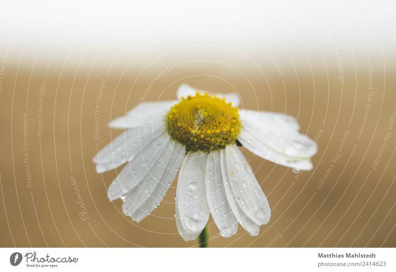 Kamille Natur Pflanze schön weiß Blume Erholung ruhig gelb Gesundheit Umwelt Frühling Blüte Gefühle Garten braun Zufriedenheit