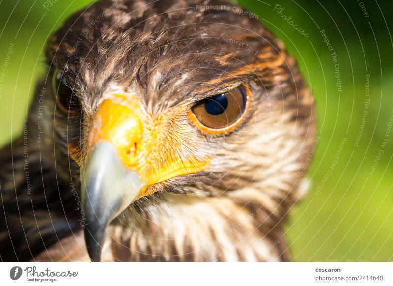 Porträt von Harris Falke. Jagd Hand Natur Tier Himmel Baum Wald sitzen wild braun gelb rot weiß Hintergrund Schnabel Ast Bussard Adler Falken Falknerei Feder