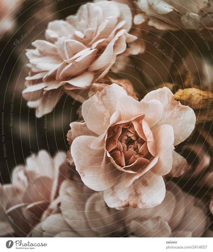 rosa Rosen mit Vintage-Effekt und ein wenig tot. Topf schön Sommer Garten Natur Pflanze Blume Blüte Wildpflanze alt natürlich gelb grün Farbe Roséwein Vinatge