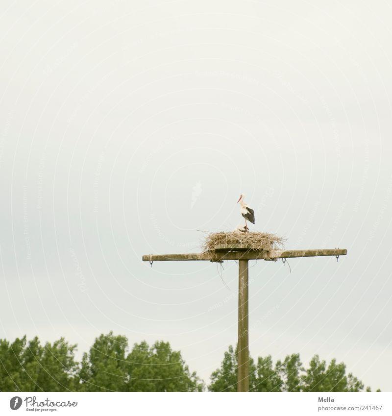 Familienplanung Natur Tier Umwelt Vogel natürlich hoch stehen Strommast Fahnenmast Telefonmast Nest Storch Technik & Technologie Horst Tierfamilie Brutpflege