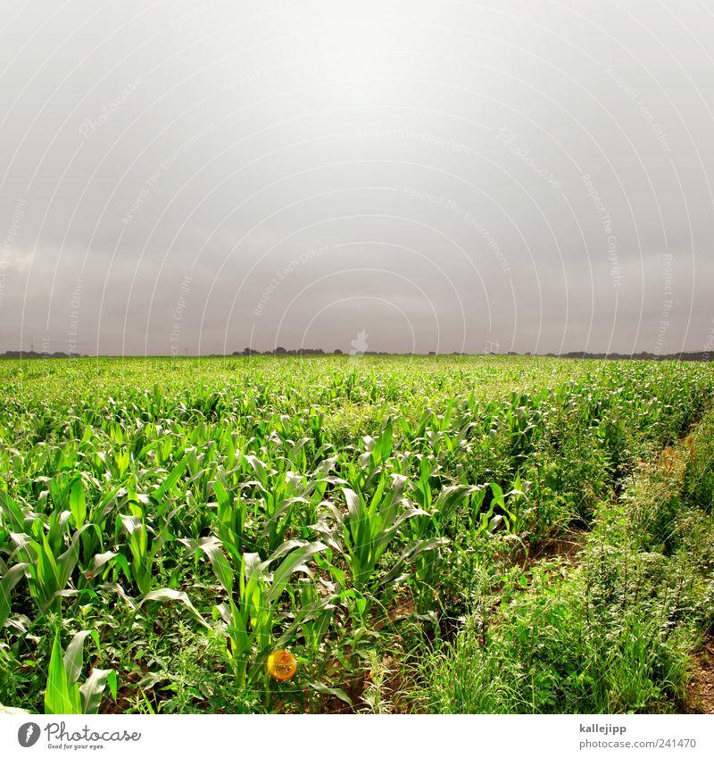 popcorn Natur Sommer Blatt Wolken Ernährung Umwelt Lebensmittel Wetter Arbeit & Erwerbstätigkeit Feld Horizont Wachstum Beruf Landwirtschaft Unwetter Wirtschaft