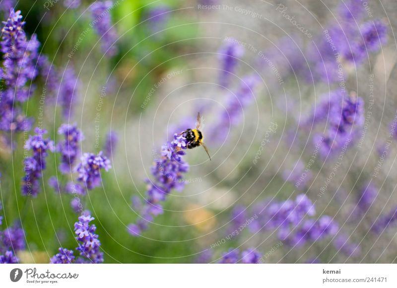 Gelb-schwarz auf Lila Natur Blume Pflanze Sommer schwarz Tier gelb Wiese Blüte Umwelt sitzen violett Insekt Biene Wildtier Schönes Wetter