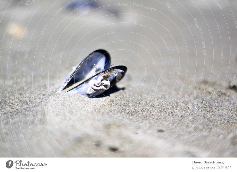 24h geöffnet Natur Ferien & Urlaub & Reisen Strand ruhig Landschaft grau Sand offen einzeln Stillleben Muschel Sandstrand essbar Miesmuschel Muschelschale