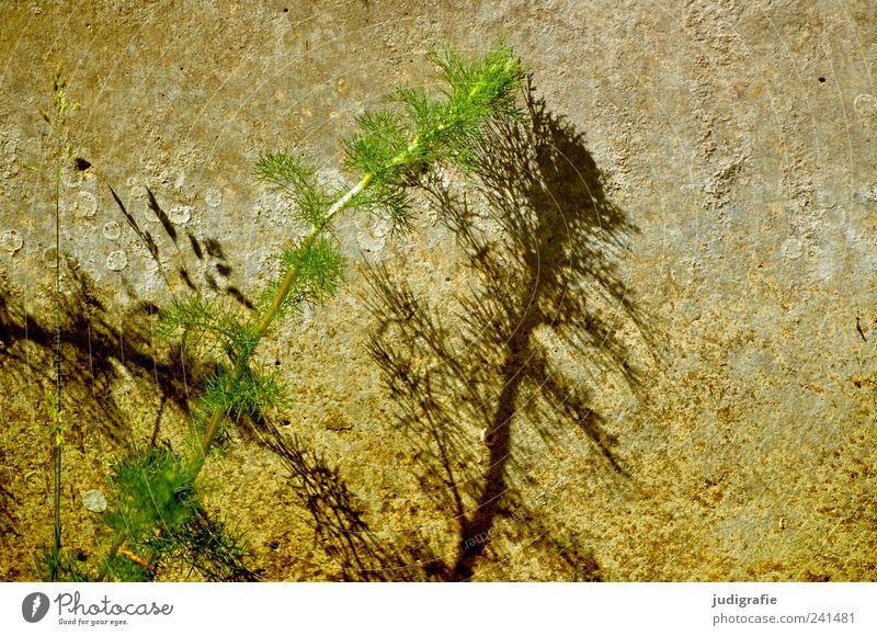 Begegnung Umwelt Natur Sommer Pflanze Wildpflanze Mauer Wand berühren Wachstum grün paarweise zart Farbfoto Außenaufnahme Menschenleer Licht Schatten