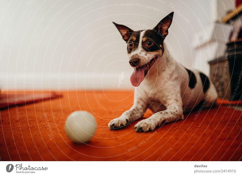 Süßer Hund, der mit seinem Ball posiert. Freude Wohnzimmer Tier Haustier 1 Lächeln lustig braun weiß Ausdruck Weinkeller Körperhaltung heimwärts spielerisch