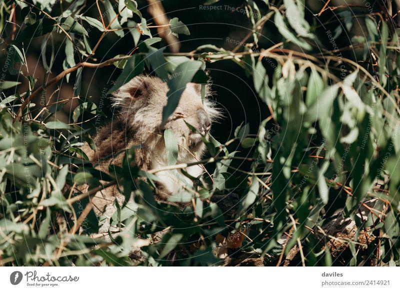 Koala schläft in einem Baum. Essen Natur Tier Blatt Wald Küste Wildtier niedlich wild grau grün Australien Eukaliptus Western Bär Eukalyptus Tierwelt Säugetier