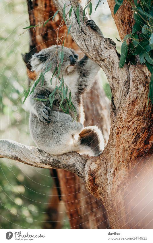 Grauer Koala auf einen Baum klettern Essen schön Natur Tier Blatt Wald Küste Wildtier 1 niedlich wild grau Australien Eukaliptus Western Bär Eukalyptus süß