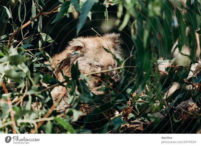 Süßer, verschlafener Koala Essen Natur Tier Baum Blatt Eukalyptusbaum Wald Küste Australien Victoria Wildtier 1 Tierjunges niedlich wild grau grün Western Bär