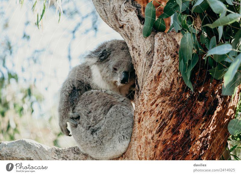 Süßer Koala, der den Arm bewegt. Baum Wildtier 1 Tier schlafen niedlich grau in ein Eukalyptus Ast Kratzen Australien Farbfoto Außenaufnahme Menschenleer