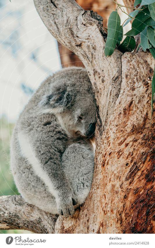 Grauer Koala, der auf einem Baumzweig schläft. Zoo Natur Tier schlafen natürlich niedlich wild grau Bär Australien nach oben Tierwelt Säugetier Fauna Australier