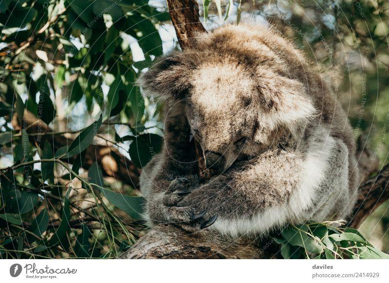 Süßer Koala im Schlaf Natur Tier Baum Blatt Wald Australien Victoria Wildtier 1 schlafen natürlich niedlich wild grau Bär Säugetier Australier Beuteltiere