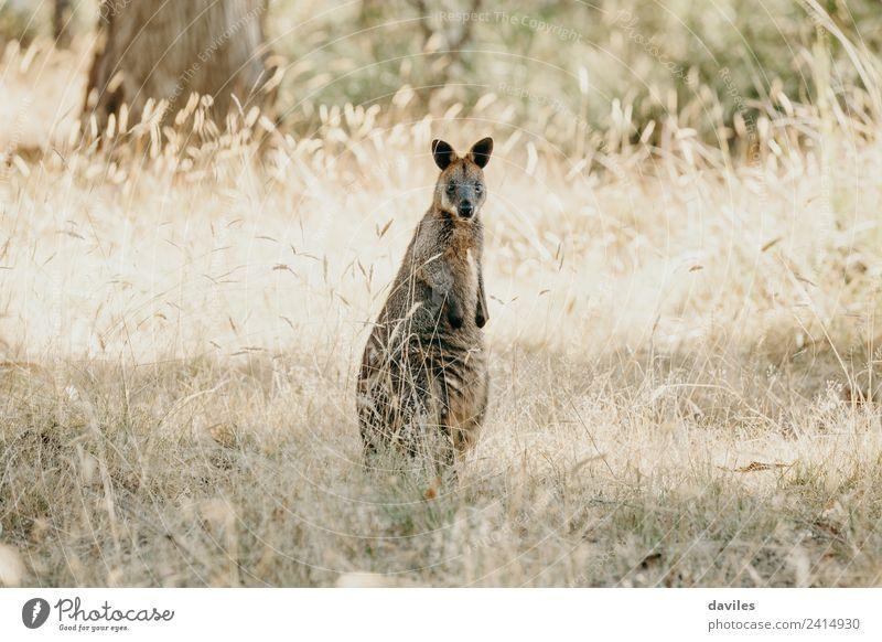 Kleines Wallabee Känguru Känguru Natur Pflanze Tier Gras Australien Victoria Wildtier Känguruh Beuteltiere 1 stehen Freundlichkeit Neugier wild Wallaby Tierwelt