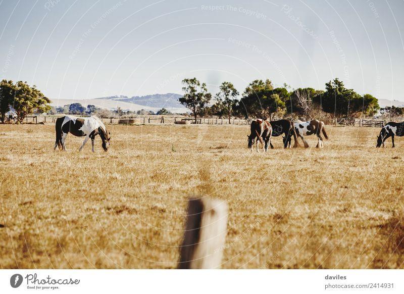Schöne Landschaft mit Wildpferden schön Berge u. Gebirge Natur Tier Himmel Baum Gras Australien Victoria Pferd Tiergruppe Rudel Tierfamilie Essen groß natürlich
