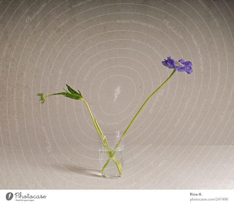 Scabiosen im Glas II Stil Blume Blüte Dekoration & Verzierung Blühend ästhetisch violett Blumenstrauß Knospe Vase Stillleben Farbfoto Innenaufnahme Menschenleer