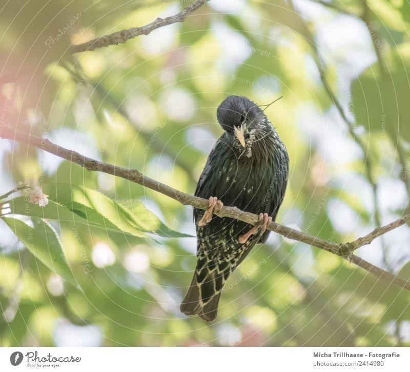 Star mit Insekten im Schnabel Natur grün Sonne Baum Tier Blatt schwarz gelb Vogel orange Wildtier sitzen Feder Schönes Wetter Flügel beobachten