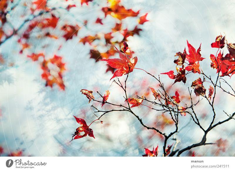 Ahornzweige Natur schön Baum blau rot Sommer Blatt Herbst Frühling hell authentisch fantastisch natürlich Zweige u. Äste Herbstfärbung
