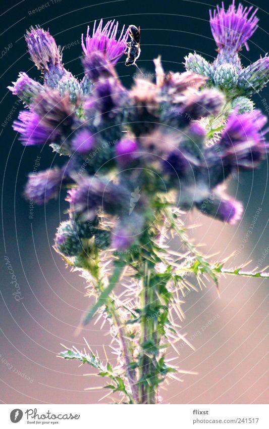 Über den Blüten Sommer Schönes Wetter Blume Sträucher Feld Biene 1 Tier Fröhlichkeit Frühlingsgefühle Farbfoto Außenaufnahme Textfreiraum unten Dämmerung