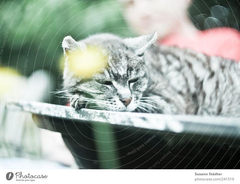 Lieblingsplatz Freizeit & Hobby maskulin Schönes Wetter Katze schlafen altes tier Hauskatze Löwenzahn Tisch Halbschlaf labil Sonnenbad Garten Holztisch Haustier