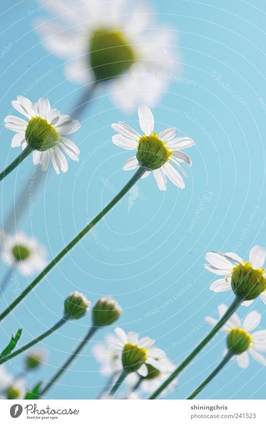 den himmel anmalen² Natur Himmel blau Pflanze Sommer ruhig Wiese Stil frisch beobachten Lebensfreude Freundlichkeit Gänseblümchen Frühlingsgefühle