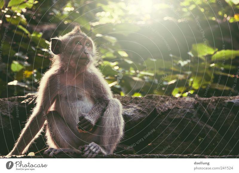 Bali IV Pflanze Baum Sträucher Grünpflanze Wildtier Affen Makake 1 Tier natürlich niedlich braun grau grün Ubud Affenwald Urwald Mauer Farbfoto Außenaufnahme