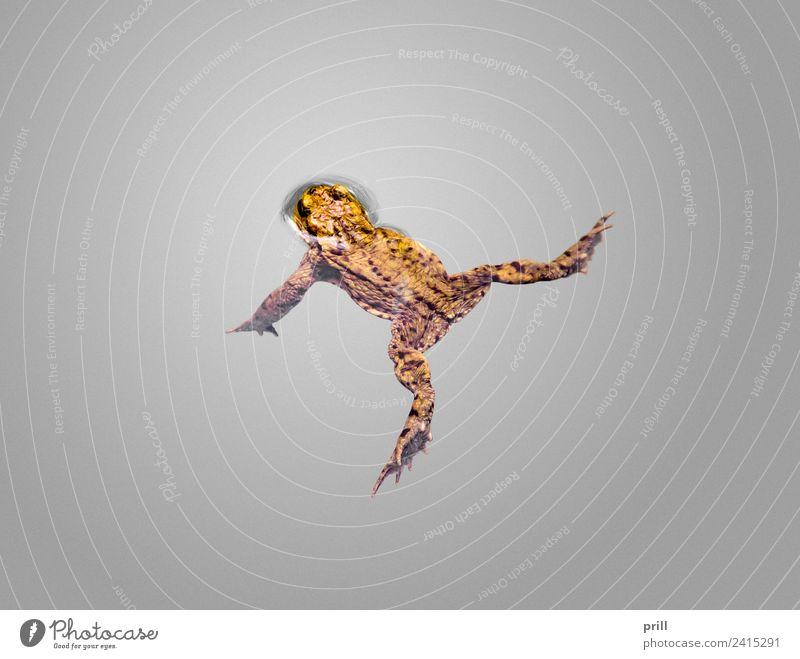 common toad Natur Tier Wasser Wildtier Frosch 1 nass oben braun Erdkröte Kröte wirbeltier amphibie Tierschutz auf dem wasser schwimmend Kopf schwimmendes tier