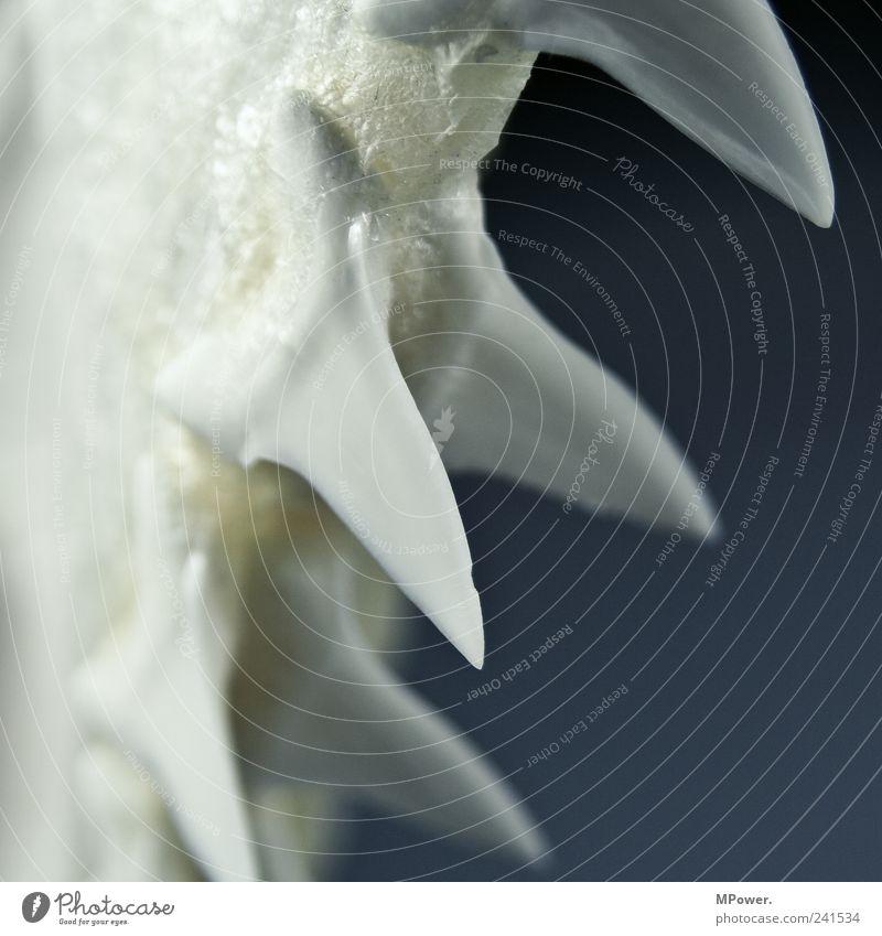 ..und der Haifisch der hat Zähne.. weiß Fisch Spitze Gebiss beißen Skelett Bildausschnitt Anschnitt Zacken Kiefer Meerestier blau-grau Fossilien Tierpräparat
