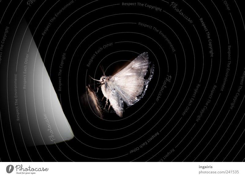 Nachtfalter Natur weiß schwarz Tier Lampe dunkel hell klein elegant Umwelt sitzen Perspektive Energiewirtschaft ästhetisch nah Tiergesicht