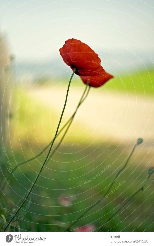 601 Natur Pflanze Frühling Sommer Blume natürlich rot Mohn Mohnblüte filigran Stengel Farbfoto Außenaufnahme Nahaufnahme Menschenleer Textfreiraum oben Tag