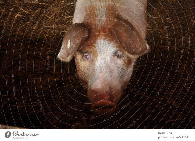 Ein XXL-Glücksschwein... Natur Tier Haustier Nutztier Tiergesicht 1 beobachten Blick Schwein Schweinerei Schweinekopf Schweinschnauze Auge Farbfoto