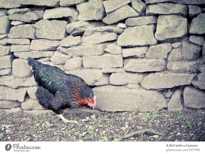 ein glückliches Huhn !!! Natur Tier schwarz Glück Mauer Vogel laufen authentisch Suche Flügel niedlich Feder Landwirtschaft Bauernhof Haushuhn füttern