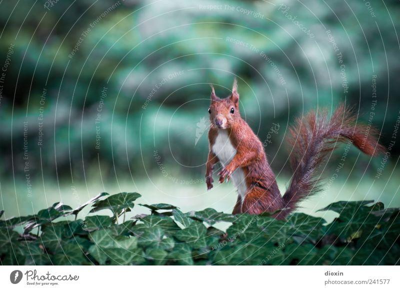 Arnie Eichhorn Natur Pflanze Efeu Tier Wildtier Fell Krallen Pfote Eichhörnchen 1 stehen natürlich niedlich Farbfoto Außenaufnahme