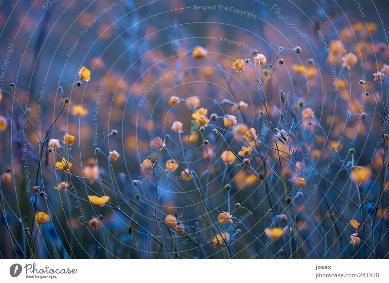 Nachts sind alle Blüten gelb Natur schön Blume blau Pflanze Sommer gelb Wiese