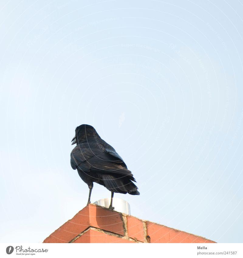 Den Rücken kehren Tier Gebäude Vogel Umwelt Perspektive stehen Schornstein Ablehnung Krähe abweisend