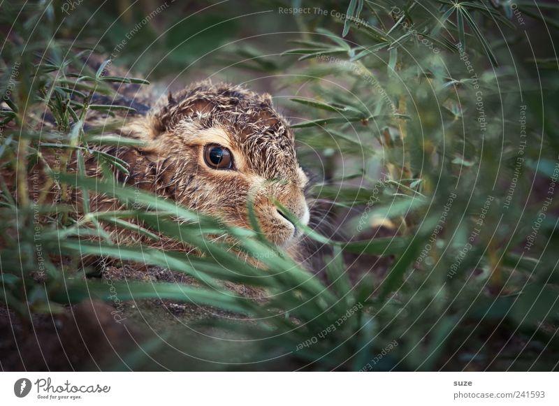 Lämpchen Natur grün Tier Umwelt Tierjunges Wiese klein braun Angst Feld wild Wildtier niedlich Ostern Tiergesicht verstecken