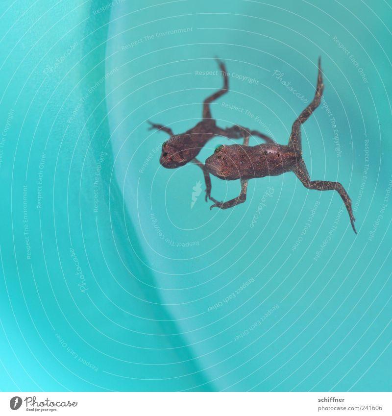Falllschirmsprungtrockenübung Tier Frosch 2 Tierpaar Tierjunges fallen Schwimmen & Baden klein winzig türkis paarweise Hand in Hand Zusammensein zusammengehörig