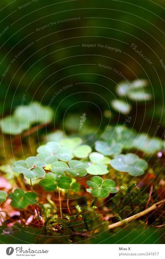 Glücksklee Natur Pflanze Blatt klein Wachstum Moos Kleeblatt Waldboden Glücksbringer