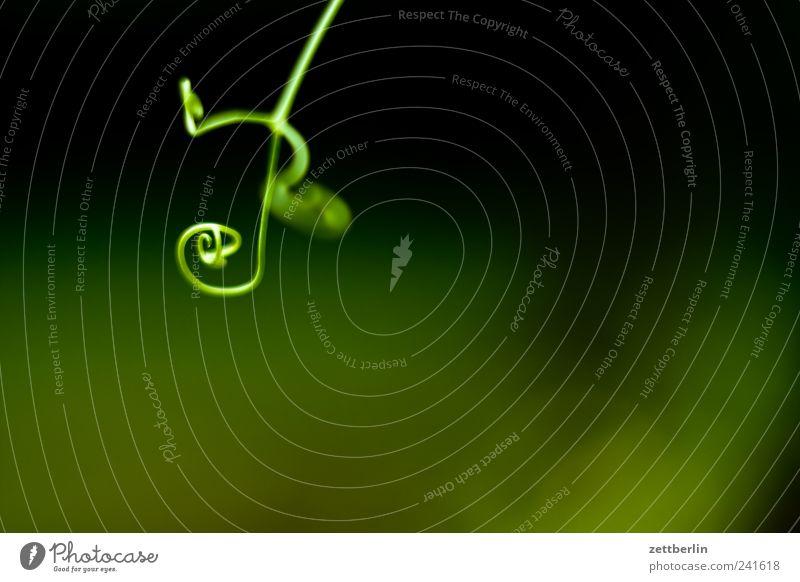 Erbse Garten Umwelt Natur Pflanze Klima Klimawandel Wetter Grünpflanze Nutzpflanze Park Wachstum grün Schrebergarten Ranke Erbsen Zweig Schnörkel Farbfoto