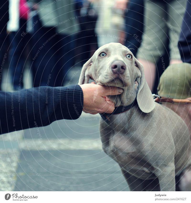 Lass dich kraulen blau Hand ruhig Tier Hund Erholung grau Zufriedenheit Tierjunges Arme Coolness niedlich genießen frech Haustier Geborgenheit