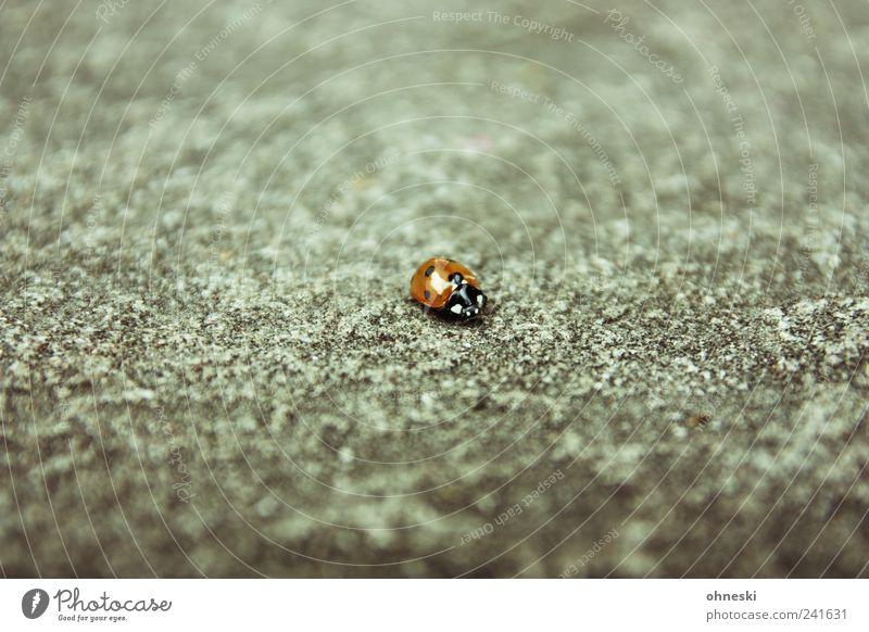 Lonesome Ladybug Tier Wildtier Käfer Marienkäfer 1 Stein Beton Glück Heimweh Einsamkeit Farbfoto Gedeckte Farben Textfreiraum oben Textfreiraum unten