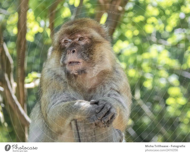 Entspannte Pause Natur Tier Sonne Sonnenlicht Schönes Wetter Baum Blatt Wald Wildtier Tiergesicht Fell Pfote Affen Berberaffen Gesicht Auge Finger 1 Erholung
